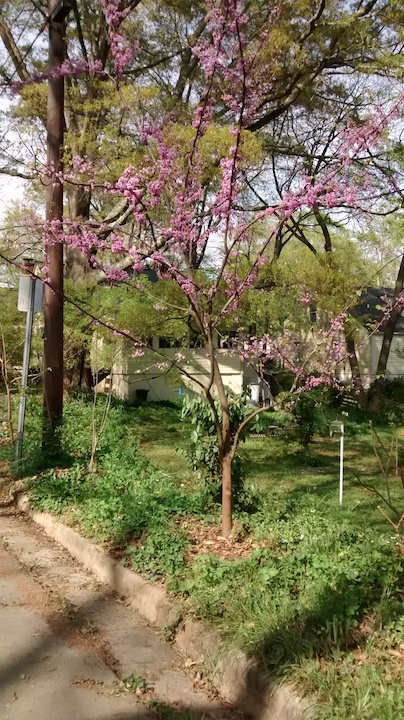 This image has an empty alt attribute; its file name is Redbud-tree.jpeg